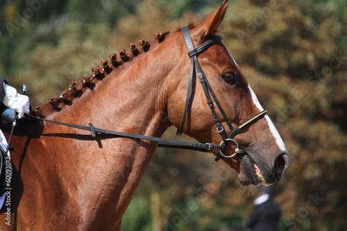 Bay horse portrait during dressage show Poster