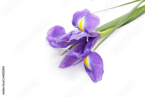 Poster Iris blue iris flower