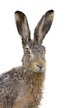 Brown Hare Portrait