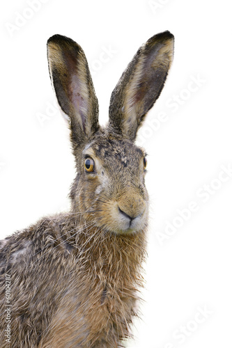 Fototapeta Brown hare portrait