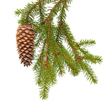Spruce Tree Branch With Cone Isolated On White