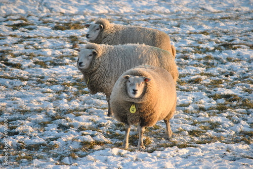 Canvas Prints Sheep Schapen hebben het warm door hun wol in de winter