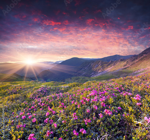 Foto op Aluminium Aubergine Magic pink rhododendron flowers in the summer mountain.