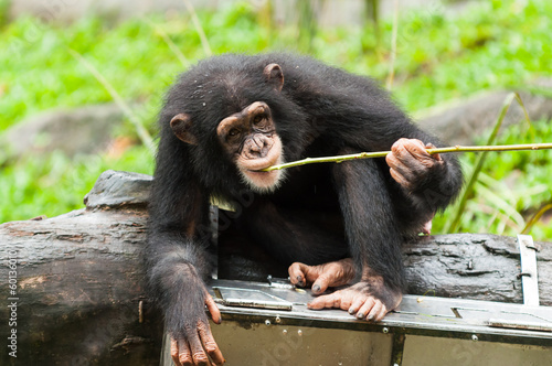 Fotografie, Obraz  Common Chimpanzee