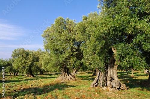 Canvas Print Olivenhain - olive grove 41
