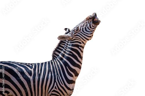In de dag Zebra laughing zebra isolated