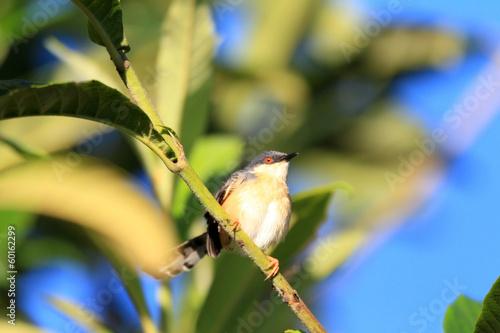 Fotografie, Obraz  Ashy Prinia  in Sri lanka
