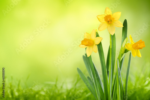 Tuinposter Narcis Daffodil flowers