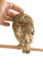 Owl Bird (collared Owlet) With A Hand