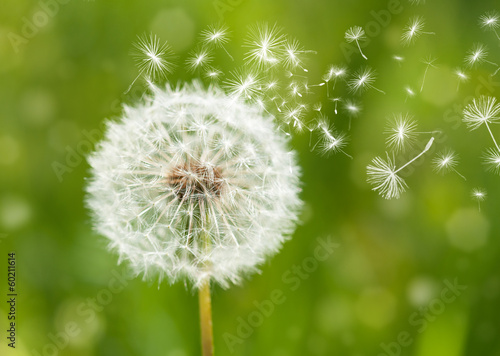 Deurstickers Paardebloem dandelion with flying seeds