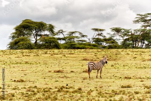 Staande foto Afrika Zebra