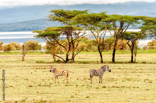 Foto op Canvas Afrika Zebra