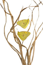 Clouded Sulphur Butterflies Landed On Branches, Colias Philodice