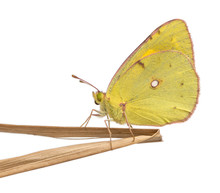 Side View Of A Clouded Sulphur...