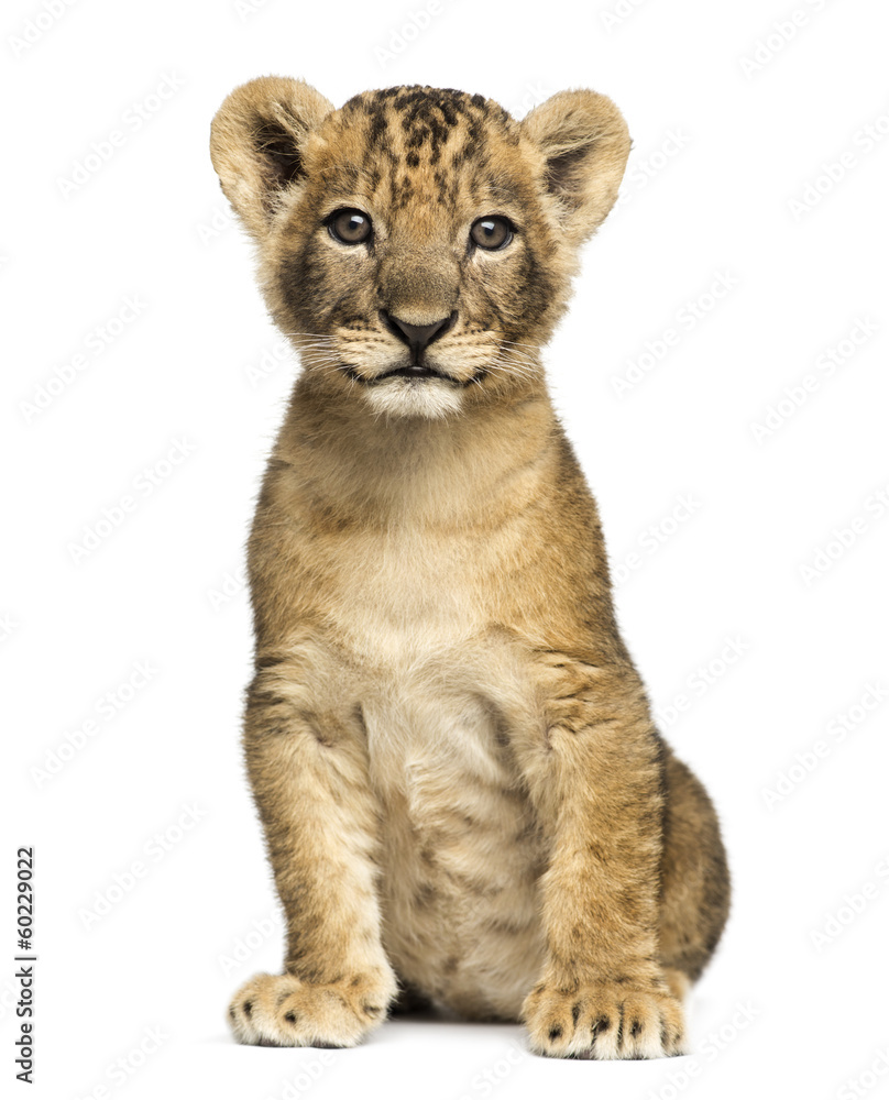 Fototapeta Lion cub sitting, looking at the camera, 7 weeks old, isolated