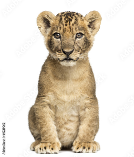 Photo Lion cub sitting, looking at the camera, 7 weeks old, isolated