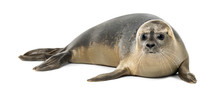 Common Seal Lying, Phoca Vitul...