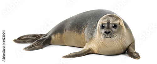 Fotomural  Common seal lying, Phoca vitulina, 8 months old, isolated