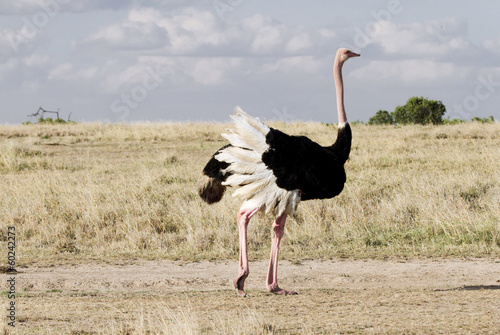 Deurstickers Struisvogel A beautiful male Ostrich