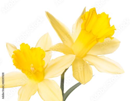 Fotobehang Narcis Narzissen isoliert