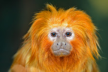 Golden Lion Tamarin (Leontopit...