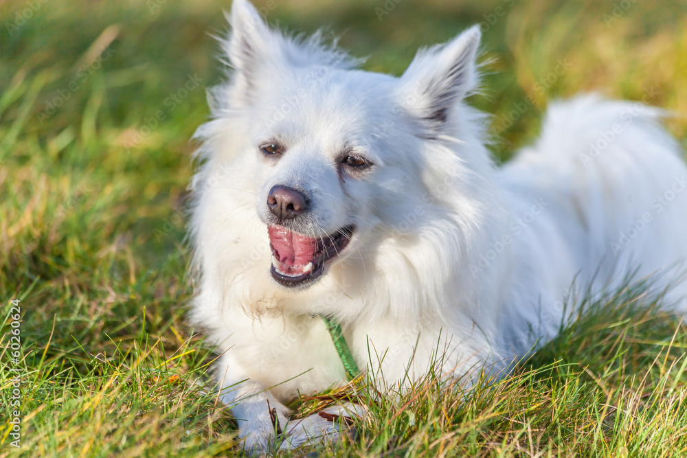 Weißer Spitz Hund Foto Poster Wandbilder Bei Europosters