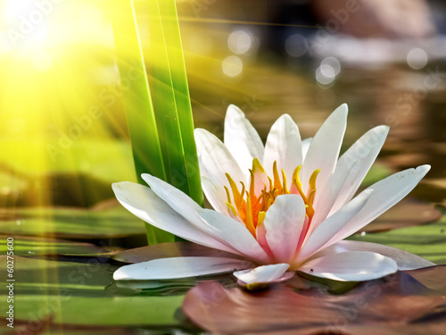 Garden Poster Lotus flower water lily