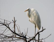 Large Egret (Casmerodius Albus)