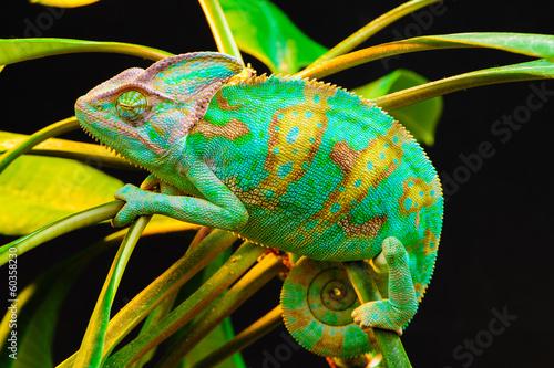 Foto op Canvas Kameleon One Yemen chameleon