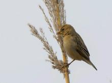 Southern Masked Weaver Or African Masked Weaver (Ploceus Velatus