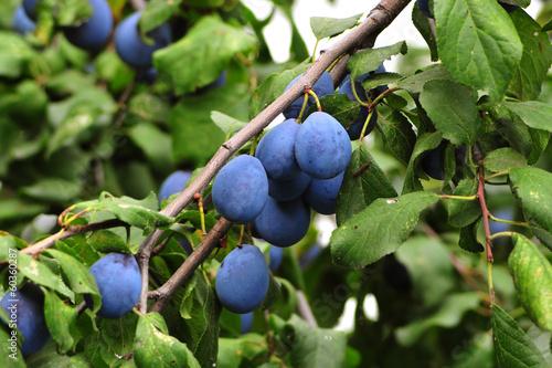 Photo  Plum. Branch with garden-stuffs