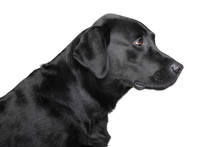 Black Labrador Retriever Profile