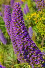 Echium Candicans Pride Of Madeira Purple Flowers