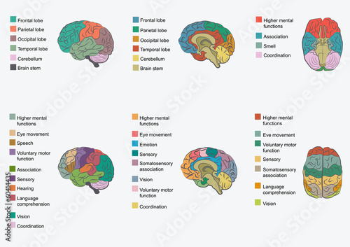Human Brain Anatomy Function Area Mind System Buy This Stock