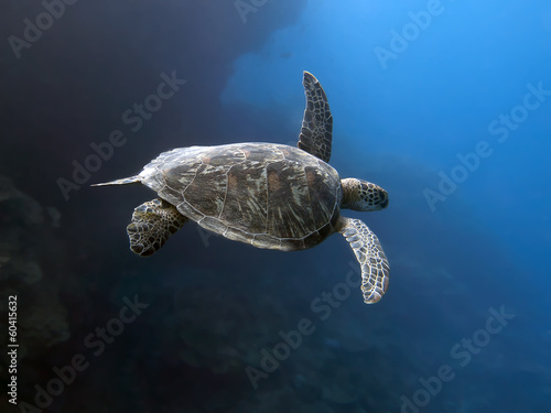 Foto op Canvas Schildpad Green turtle