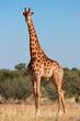 canvas print picture - Giraffe bull