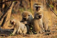 Vervet Monkeys (Cercopithecus ...