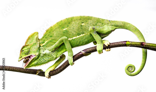 Cadres-photo bureau Cameleon green chameleon - Chamaeleo calyptratus hunting cricket