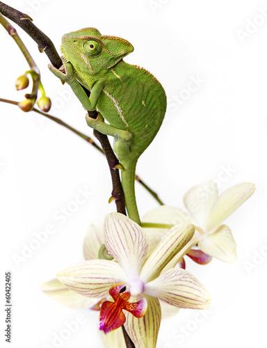 Photo Stands Draw chameleon - Chamaeleo calyptratus