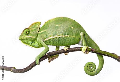 green chameleon - Chamaeleo calyptratus #60422891