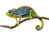 Fototapeta Zwierzęta - chameleon