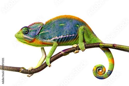 Stickers pour porte Cameleon chameleon