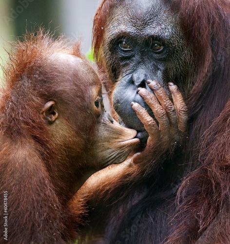 The cub of the orangutan kisses mum. Fotomurales