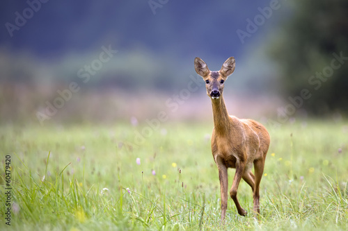 Poster de jardin Roe Roe-deer in the clearing