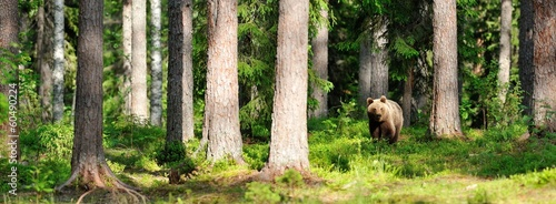 Fototapeta Brown bear in forest panorama