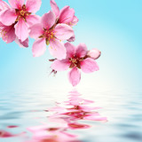 Peach flower,water background