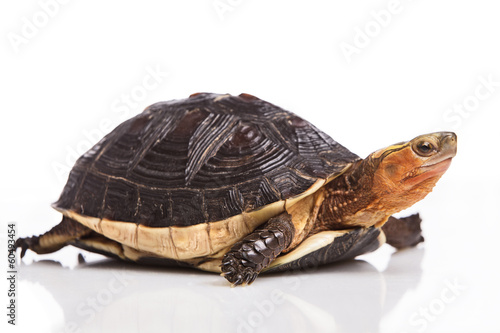 Poster Tortue Chinese box turtle