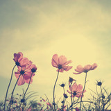 Fototapeta  - Vintage Cosmos flowers in sunset time