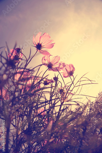 Foto op Plexiglas Retro Vintage Cosmos flowers in sunset time