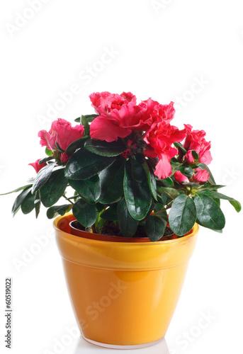 Papiers peints Azalea pianta di azalea fiorita in vaso